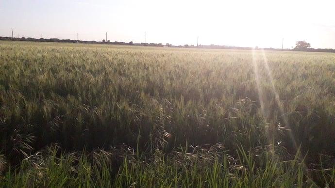grano fioritura