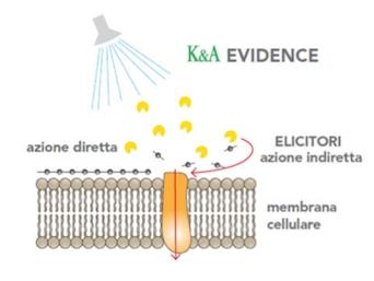 Evidence meccanismo azione