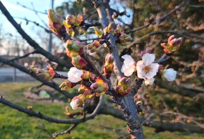 Primavera ciliegio