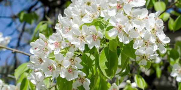 squilibri-termici-primavera-frutteto